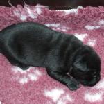 pup lola 1 week oud